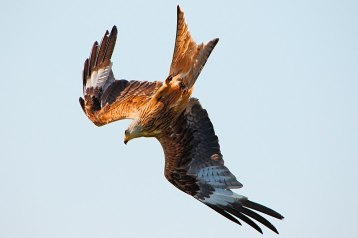 800px-Red_Kite_(36208444586)